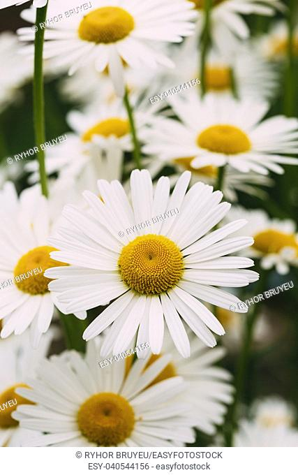 Close View Of Chamomile Or Matricaria, Many Beautiful Blooming Garden And Decorative White Flowers With Yellow Inflorescence In The Center In Summer Spring