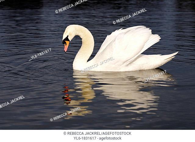 Mute swan in Round Pond, Kensington Gardens, London