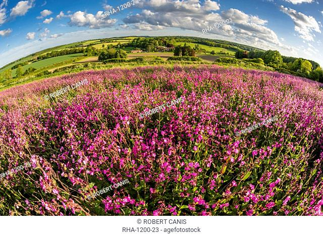 Red campion (Silene dioica) flowering mass, growing on arable farmland in May, evening sunlight, Kent, England, United Kingdom, Europe