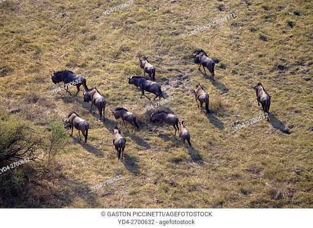 Blue wildebeest (Connochaetes taurinus) . Okavango Delta aerial view, Botswana. The Okavango Delta is home to a rich array of wildlife