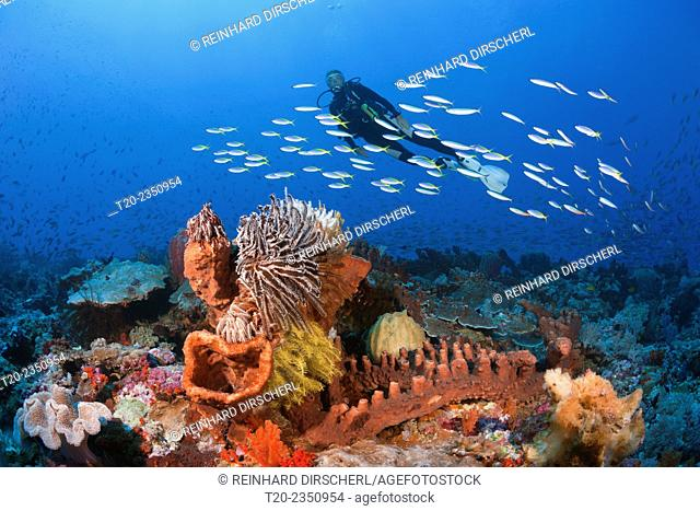 Scuba Diver over Coral Reef, Kai Islands, Moluccas, Indonesia