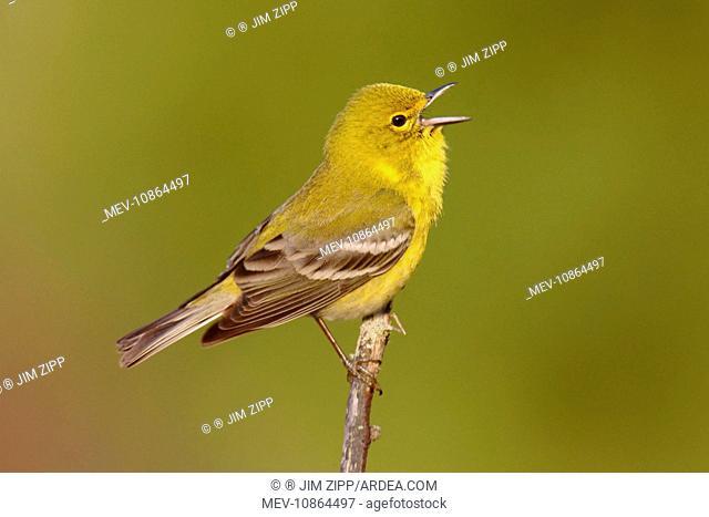 Pine Warbler - spring plumage (Dendroica pinus). Connecticut, USA