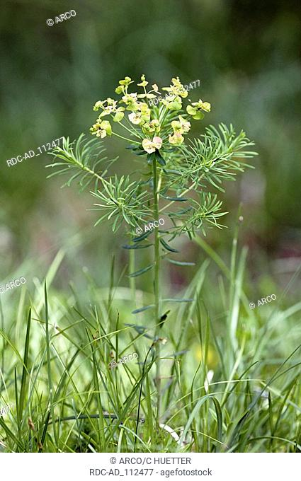 Cypress Spurge national park Berchtesgaden Bavaria Germany Euphorbia cyparissias