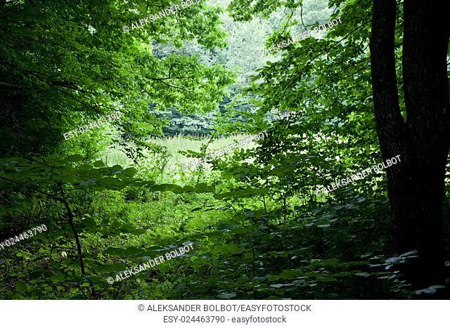 Summertime view from dense deciduous stand into small glade, Bialowieza Forest, Poland, Europe