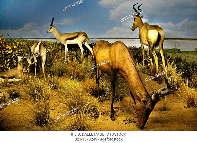 Display with Springbok, Cape Hartebeast and Gemsbok in the Kgalagadi Transfrontier Park at the Gaborone National Museum, Botswana
