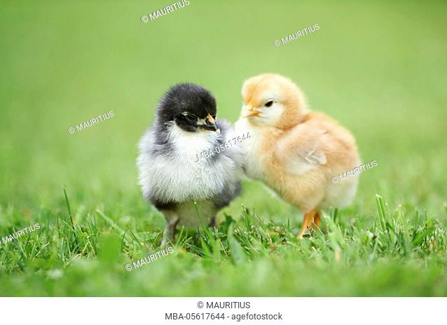 Domestic chickens, Gallus gallus domesticus, chicks, meadow, side view, standing