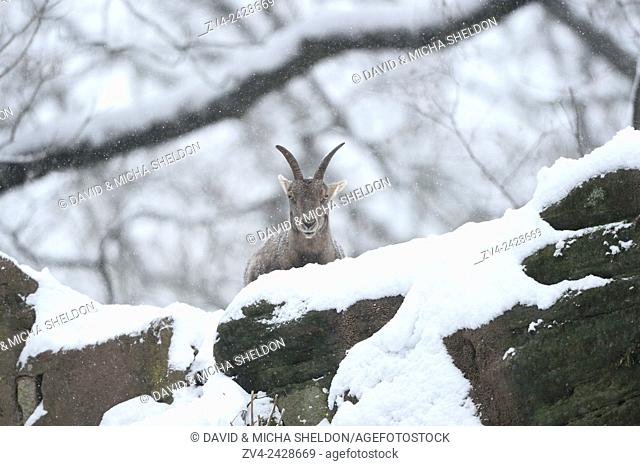 Close-up of a Alpine ibex (Capra ibex) in winter