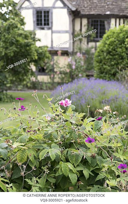Haze of lavender and celebrated 'rosamunda' roses before the medieval timber framed house of Rosamund Clifford, Henry's II mistress, Frampton on Severn