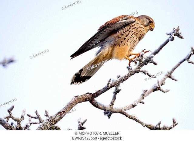 European Kestrel, Eurasian Kestrel, Old World Kestrel, Common Kestrel (Falco tinnunculus), male landing on an icy branch, side view, Germany