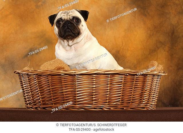 sitting pug in basket