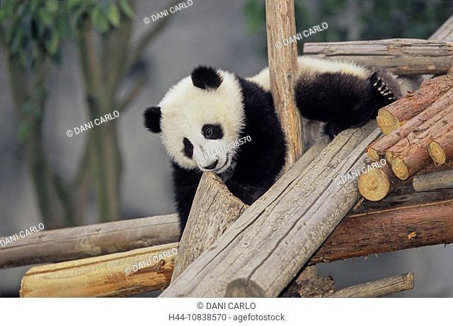 Giant Panda, Ailuropoda Melanoleuca, Chengdu Breeding and Research Base, Xiongmao Jidi, Sichuan, China, Asia, Baby, be