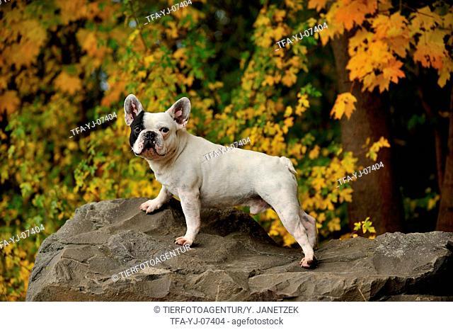 standing French Bulldog