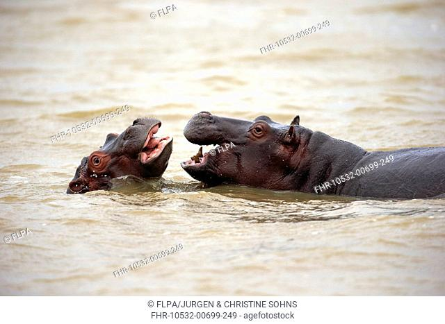 Hippopotamus (Hippopotamus amphibius capensis) two juveniles, playfighting in water, Saint Lucia Estuary, iSimangaliso Wetland Park (Greater St