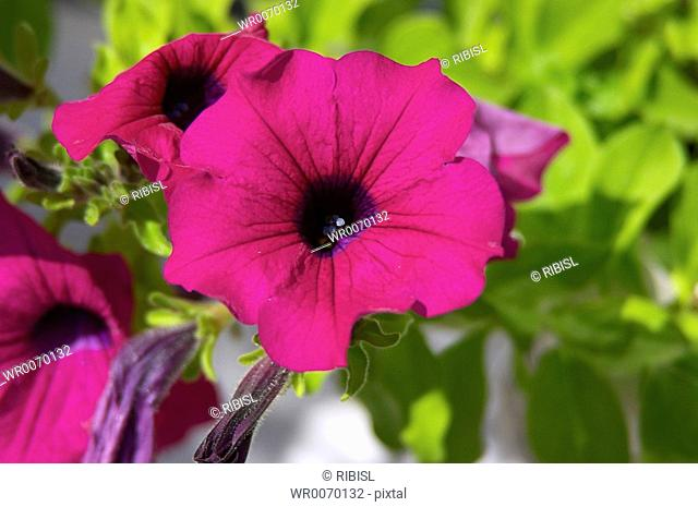 petunia petunia hybrida