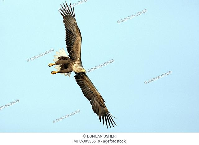 White-tailed Eagle (Haliaeetus albicilla) flying, Germany