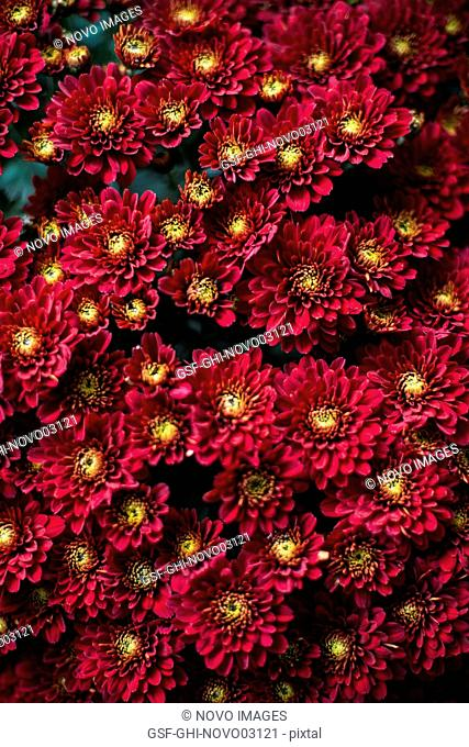 Red Chrysanthemum Flowers, High Angle View