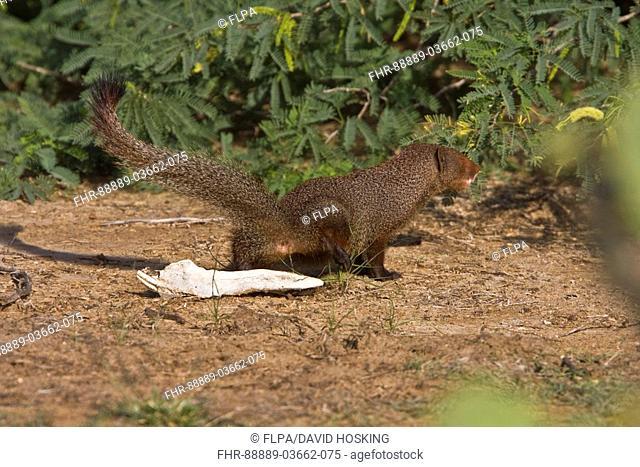 Sri Lanka Ruddy Mongoose marking Territory