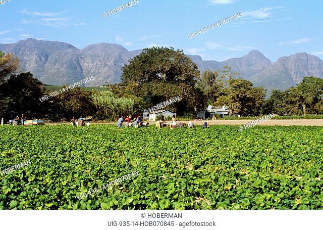 Strawberry pickers, Mooiberge, Stellenbosch, Western Cape