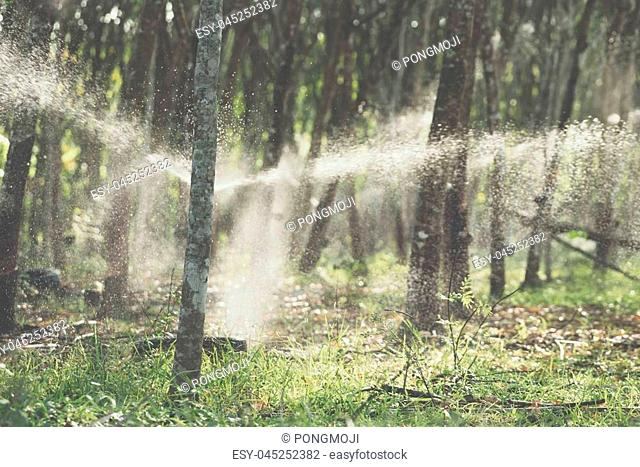 Watering rubber tree in row at a rubber tree plantation natural latex is a agriculture harvesting natural rubber in white milk color for industry in Thailand