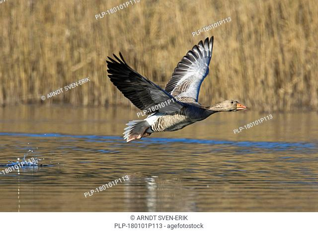 Greylag goose / graylag goose (Anser anser) taking off from water in pond