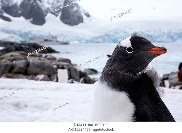 Gentoo Penguin (Pygoscelis papua) on Petermann Island, Antarctic Peninsula; Antarctica