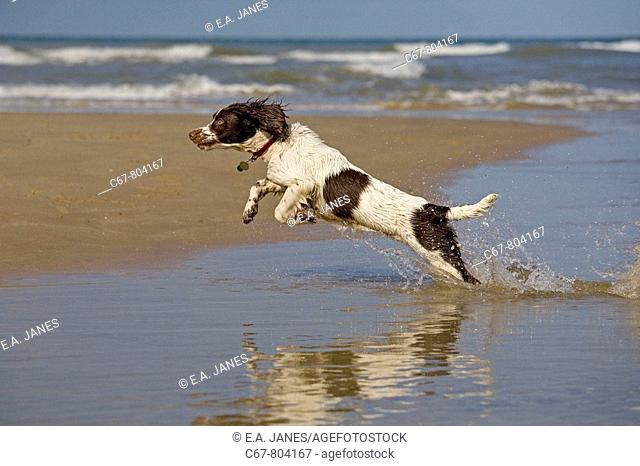 English Springer Spaniel running on Beach