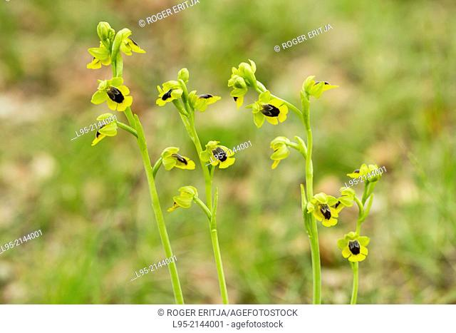 Yellow ophrys (Ophrys lutea) flowers, Spain