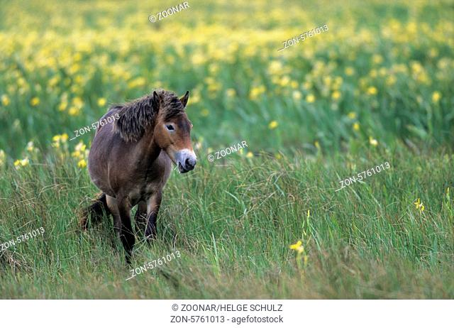 Exmoor-Pony - Stute ueberquert eine Sumpfwiese mit Sumpf-Schwertlilien - (Exmoor Pony) / Exmoor Pony mare crossing a marshy meadow with Yellow Iris / Equus...