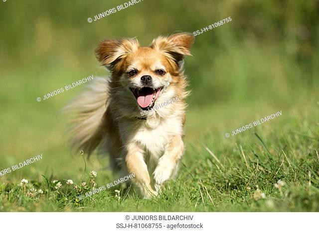 Tibetan Spaniel. Adult dog running on a meadow towards the camera. Germany
