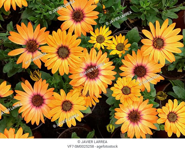Osteospermum flowers, Graden center, Hondarribia, Gipuzkoa, Basque Country, Spain , Europe