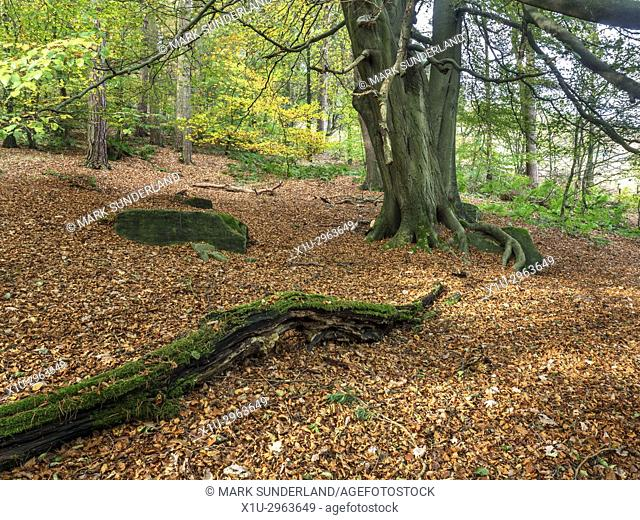 Carpet of Fallen Leaves under a Tree in Abel Cote Wood in Autumn near Pecket Well Hebden Bridge West Yorkshire England