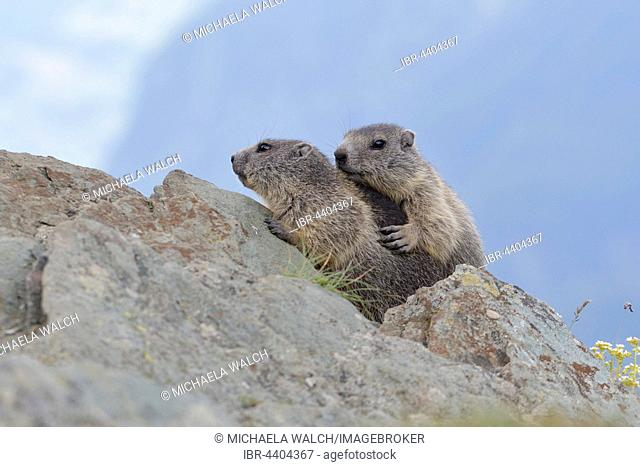 Young marmots (Marmota marmota) on a rock, juveniles, High ropeern National Park, Carinthia, Austria