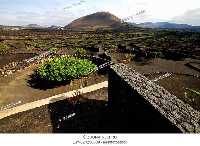 cultivation home viticulture lanzarote spain  geria  screw