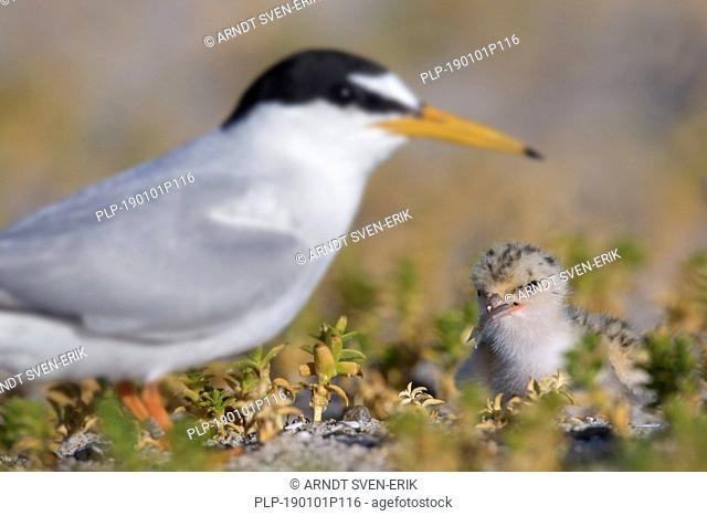 Little tern (Sternula albifrons / Sterna albifrons) chick eating sandeel fish on nest in saltmarsh in late spring / summer
