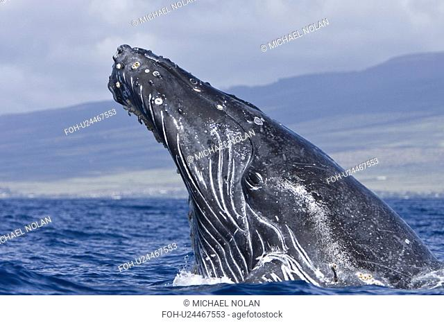 Humpback whale Megaptera novaeangliae in the AuAu Channel between the islands of Maui and Lanai, Hawaii, USA. Each year humpback whales return to these waters...