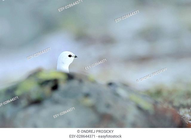 Rock Ptarmigan, Lagopus mutus, hidden portrait