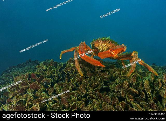 Great spider crab (Maja squinado) devouring common mussel (Mytilus galloprovincialis). Eastern Atlantic. Galicia. Spain. Europe
