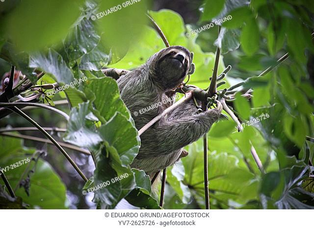 Three-toed sloth, (Bradypus variegatus). Manuel Antonio National Park, Puntarenas, Pacific Ocean, Costa Rica, Central America, America