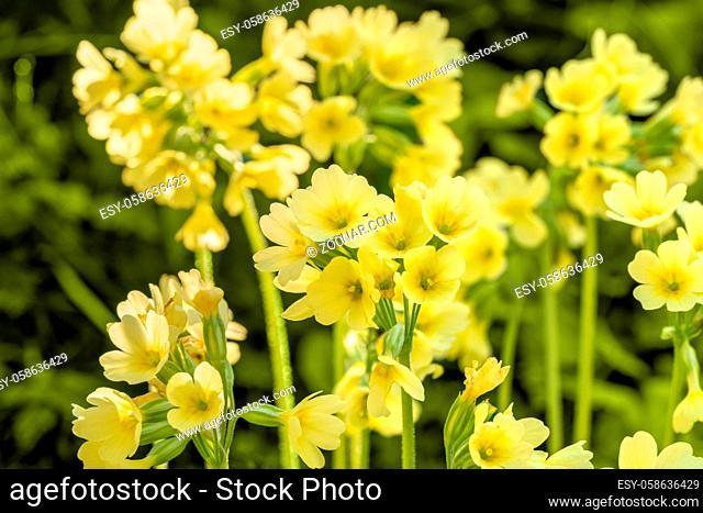 sunny illuminated yellow cowslip flowers closeup