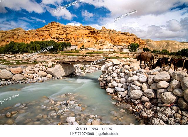 Cattle crossing Nhichong Khola at Ghom, Dhuk with monastery, gompa Choser, tibetian village with a buddhist Gompa, fertile fields are only possible in the high...