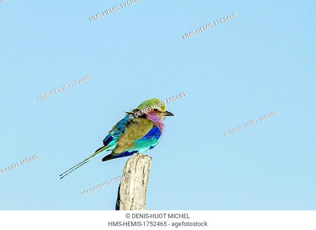 Botswana, Chobe national park, Savuti area, Lilac-breasted roller (Coriacas caudata)