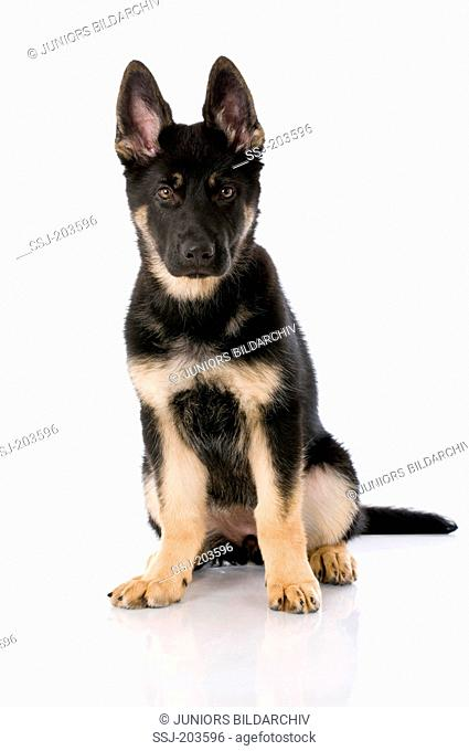 German Shepherd, Alsatian. Puppy sitting. Studio picture against a white background. Germany