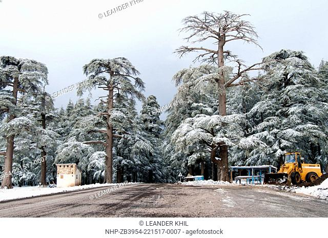 Winter in the Middle Atlas: Cedar forests in snow. February, Morocco