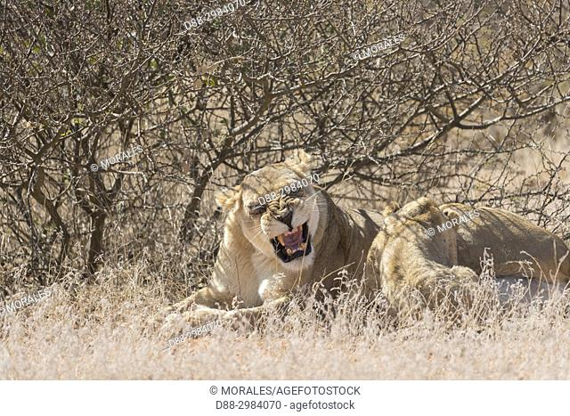Africa, Southern Africa, South African Republic, Kalahari Desert, lionesses and cubs resting in the savannah (Panthera leo)