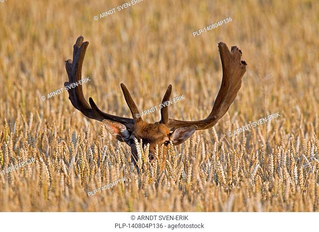 Fallow deer (Dama dama) buck with antlers covered in velvet in wheat field in summer