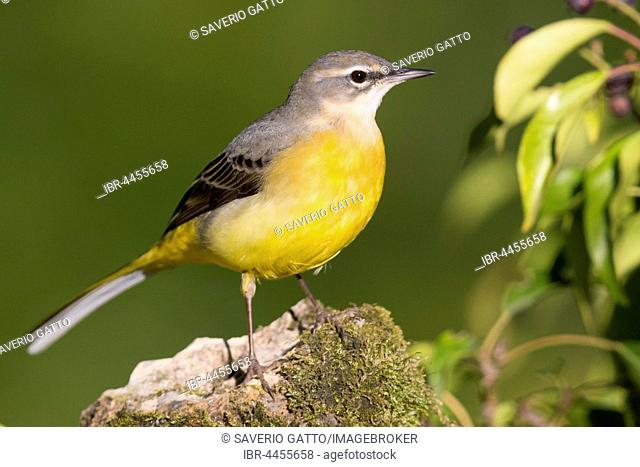 Grey Wagtail (Motacilla cinerea), first winter plumage, standing on a rock, Campania, Italy
