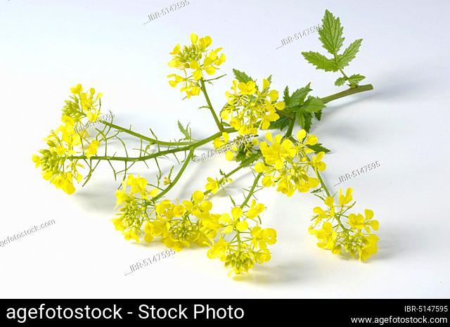 White mustard (Sinapis alba)
