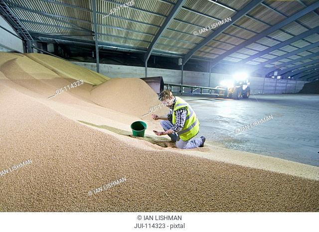 Farmer Checking Quality Of Wheat In Grain Store