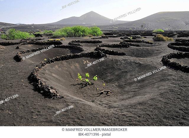 Vineyard, La Geria, Lanzarote, Canary Islands, Spain