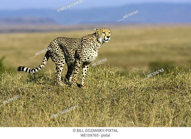 Cheetah - Masai Mara National Reserve, Kenya